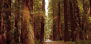 Avenue of the Giants (some very big trees)